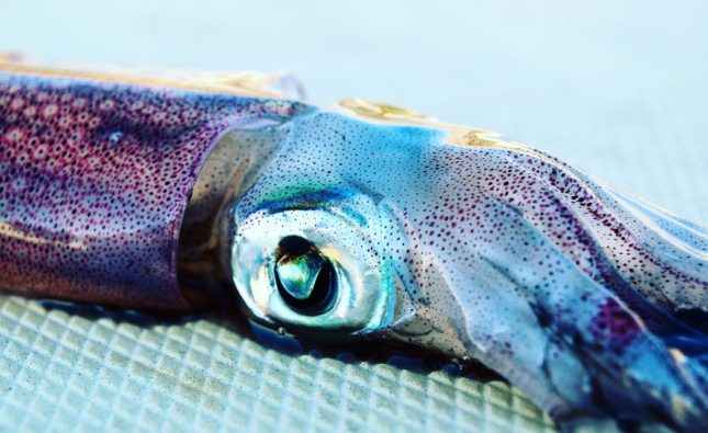 Is Squid Good for Fishing?