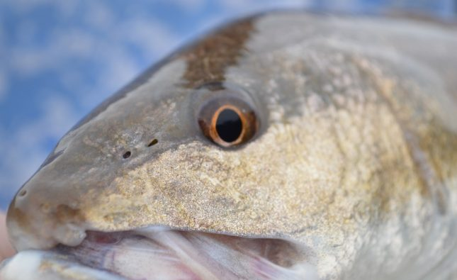 What Is The Best Bait For Redfish?