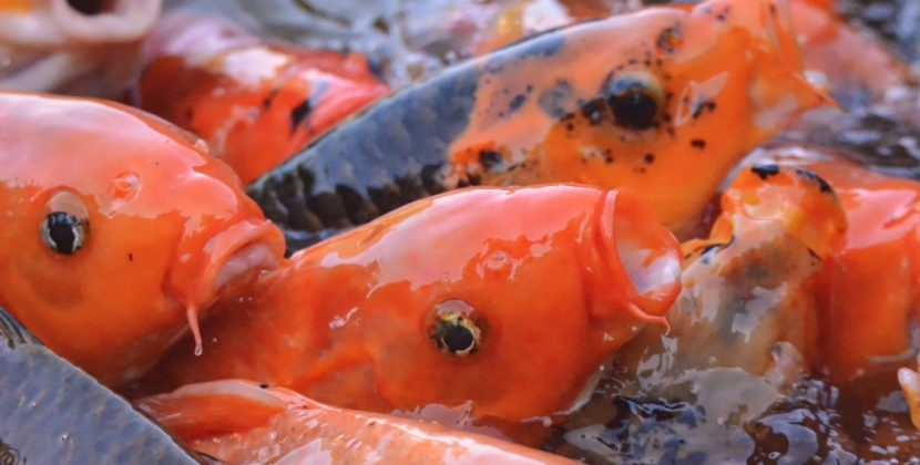 Will Fish Stop Eating When They Are Full?