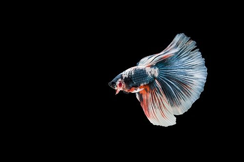 Reasons Why Your Betta Fish's Fins Curling ~ Causes ~