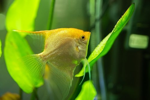 How to Tell If Your Angelfish Egg's Are Fertilized