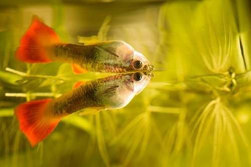 The ONE Big Reason Why Your Guppy Is Swimming Vertically ~ How To Prevent ~