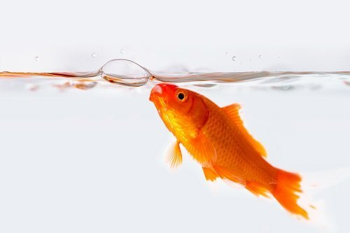 Top 4 Reason Why Your Goldfish Is Blowing Bubbles In Their Tank